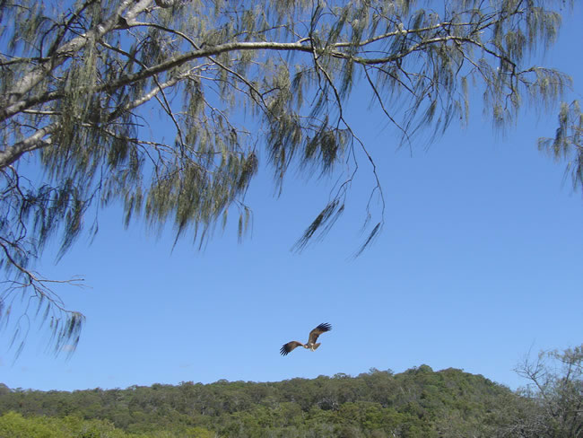 Fraser Island Eskies